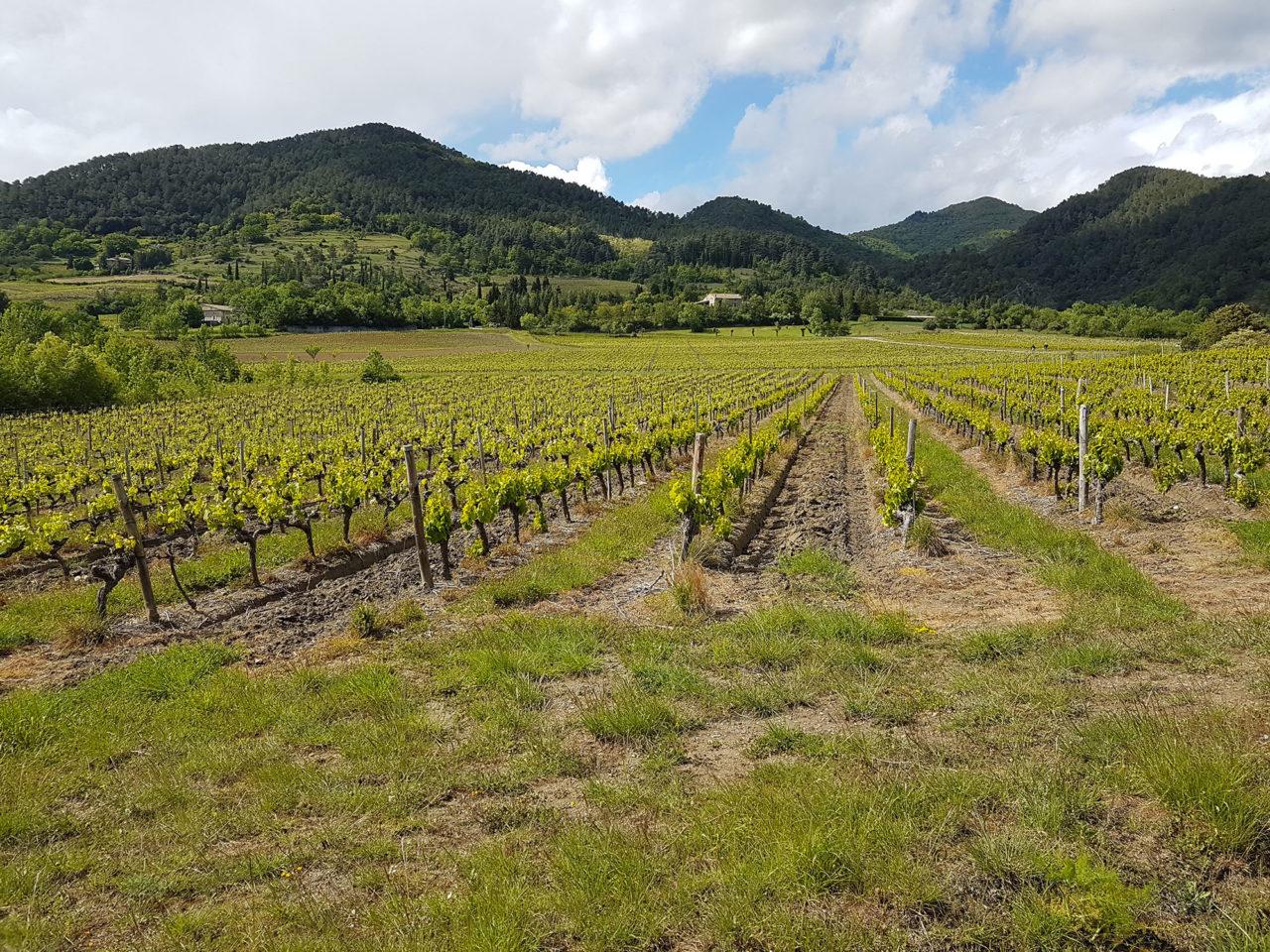vigne-mai-st-julien-st-alban-ardeche